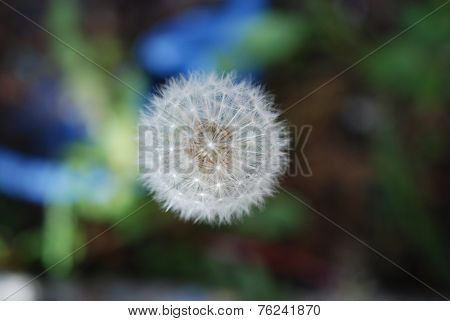 Taraxacum or Dandelion is ready to send its seeds out into the world only a zephyr missing.