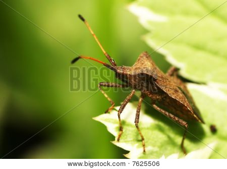 Shieldbug on a leaf