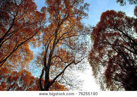 Golden Tree Tops