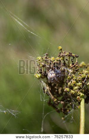 Spider Sitting In Its Nest .