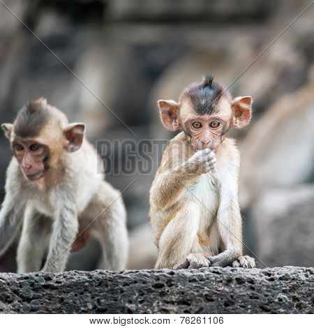 Long Tailed Macaque Monkeys Relaxing In Thailand