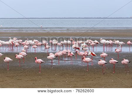 Rosy Flamingo Colony In Walvis Bay Namibia