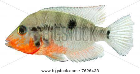 Firemouth Cichild fish
