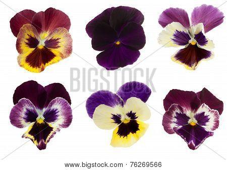 Viola/pansy Series - Stock Image .