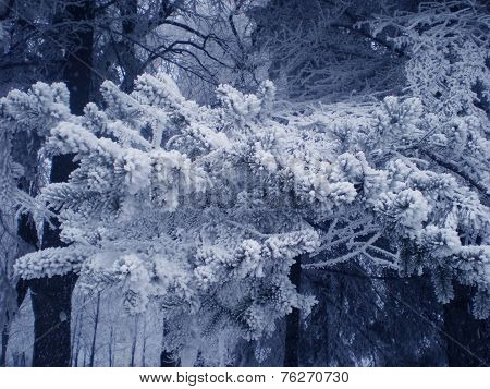 Fur-tree Branch In Fluffy Snow