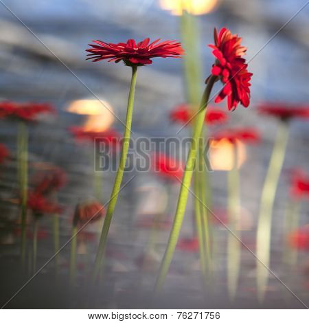 Red Gerbera Flowers And Blue Background