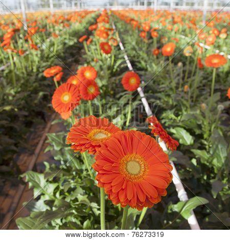 Orange Gerbera Flowers In Greenhouse