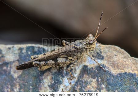 Grasshopper Perching On Stone