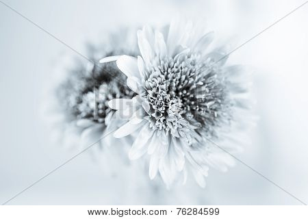 White chrysanthemum petals