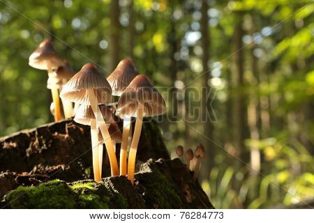 Mushrooms on a rotten tree