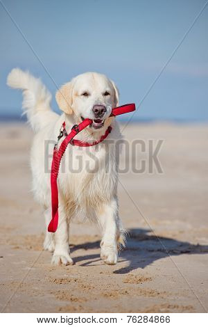 golden retriever dog holding a leash