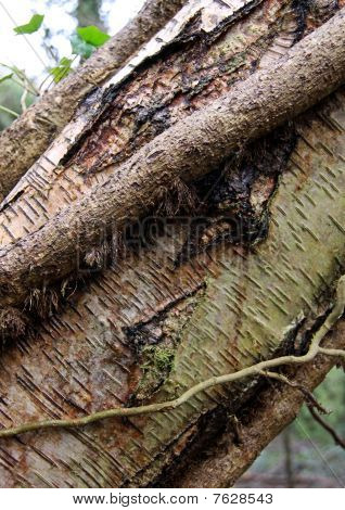 Silver Birch tree trunk