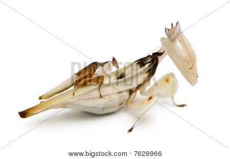 Male And Female Hymenopus Coronatus, Malaysian Orchid Mantis, In Front Of White Background