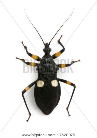 Platymeris Biguttatus, A Genus Of Assassin Bug, Reduviidae, Against White Background