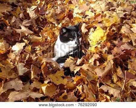 Cat in autumn leaves
