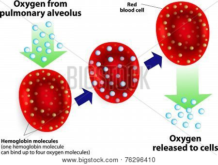 Hemoglobin and respiratory. Vector diagram