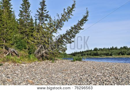 Trees Bent Down To The River Is Typical Taiga Landscape.