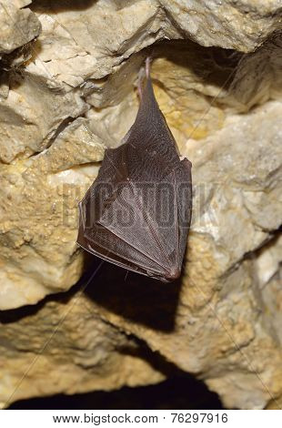 Greater Horseshoe Bat ( Rhinolophus ferrumequinum)