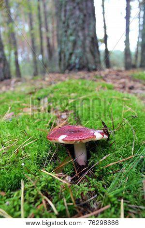 Beautiful Mushroom Of Russula