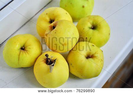 Ripe Antonov Apples.