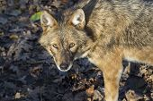 picture of jackal  - Golden jackal  - JPG