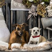 image of greyhounds  - Chihuahua and Italian greyhound in front of a rustic background - JPG