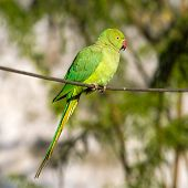 stock photo of parakeet  - Green Indian Ringnecked Parakeet parrot on the wire - JPG