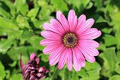 picture of chrysanthemum  - Chrysanthemum flower - JPG