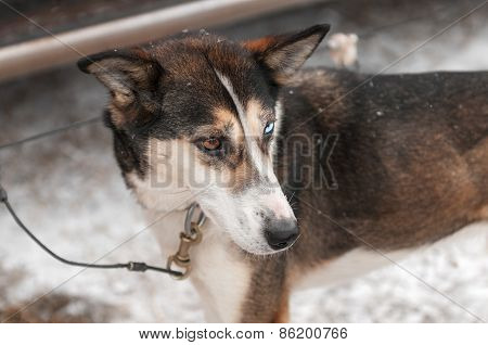 Sled Dog Cabled To Dog Truck Waits For Race Start