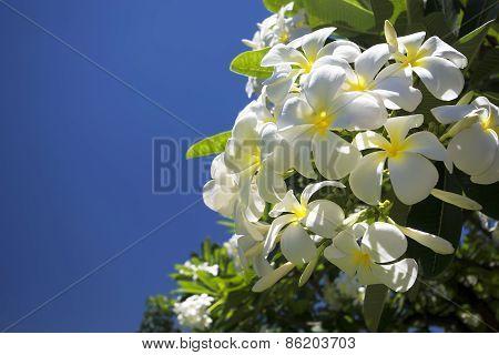 Plumeria or the common name Frangipani flower.