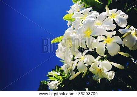 Plumeria or the common name Frangipani flower with a bright soft filter.