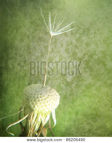 a single seed stuck on a dandelion plant with a grunge paper texture overlay