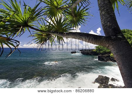 Palm tree on the northern coastline, on road to Hana, Maui, Hawaii