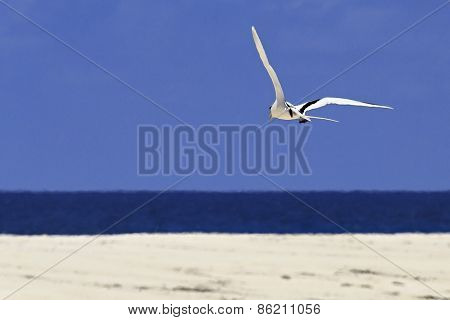 White-tailed tropicbird flying over the Indian Ocean.