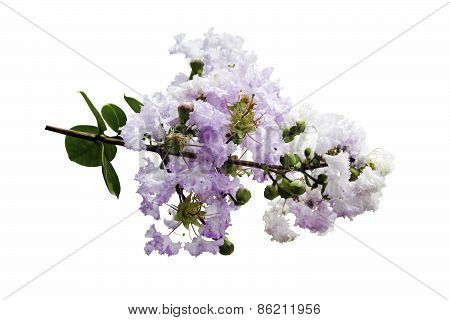 Lagerstroemia Indica Flower Isolated