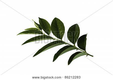 Star Gooseberry Leaf