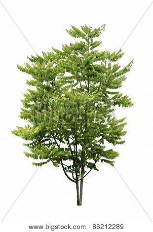 Star Gooseberry Tree Isolated