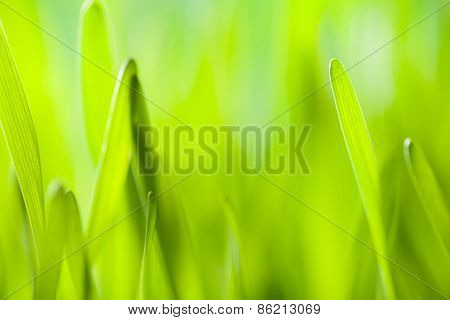 Abstract green young barley background
