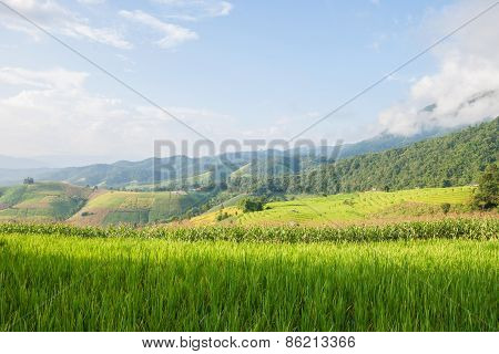 Corn And Rice Field Terrace And Shack With Mountain Background