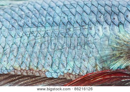 Close Up Texture Of Fight Fish