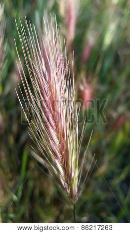 Foxtail closeup