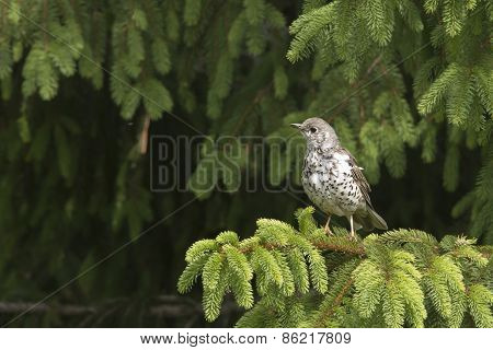 mistle thrush (Turdus viscivorus) in fir trees, Vosges, France