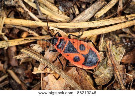 Pyrrhocoris apterus bug in forest