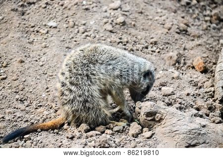 Small Carnivore Mammal Animal Suricata