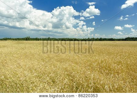 Cumulus clouds on rich blue sky high up over field
