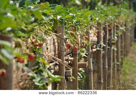 Strawberry, Cherry Red.