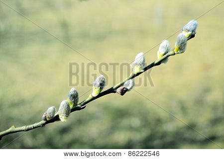 Branch With Buds - Spring In Vilnius City