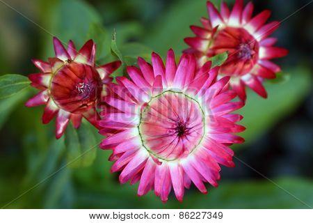 Straw flowers Helichrysum Monstrosum