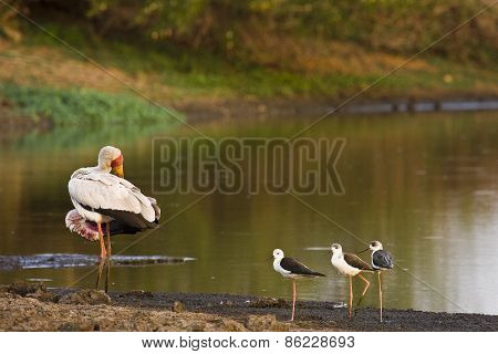 yellow billed stork, Mycteria ibis, Kruger, South Africa