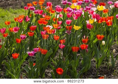 Ccolorful Tulips In The Garden